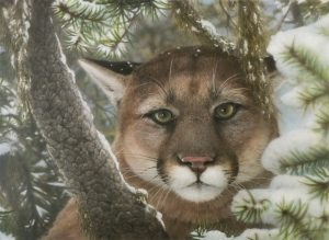 """""""Basic Instinct"""" -A Mountain lion is scouting the countryside while relaxing safely in the pines. by Greg Garrett"""
