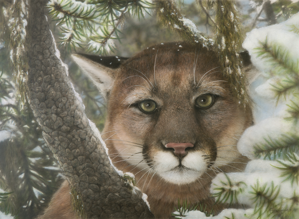 """Basic Instinct"" -A Mountain lion is scouting the countryside while relaxing safely in the pines. by Greg Garrett"